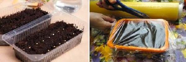 Разумно будет создать растению на этапе выращивания рассады условия парника, накрыв емкости с маленькими растениями каким-либо плотным прозрачным материалом