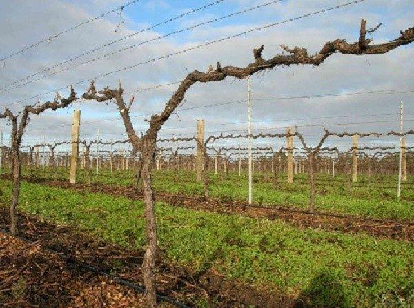 Осенний уход за виноградом - комплекс процедур, который необходимо соблюсти, если вы желаете получить солидный урожай