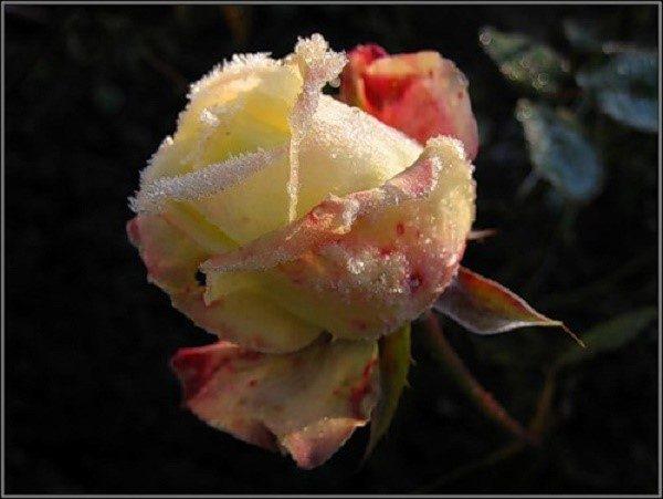 Розы: уход осенью и подготовка к зиме