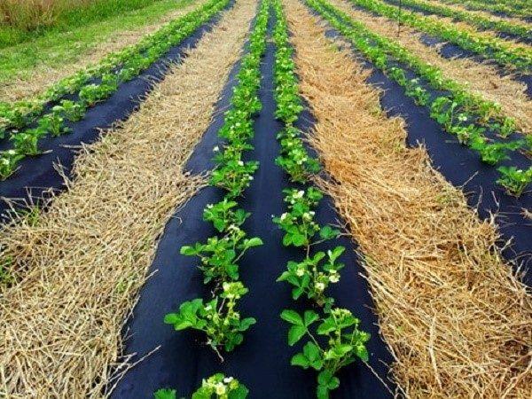 Мульчировать грядки можно как агротекстилем, так и натуральными материалами, но следует помнить, что опилки солому и листву довольно трудно впоследствии убирать с грядок