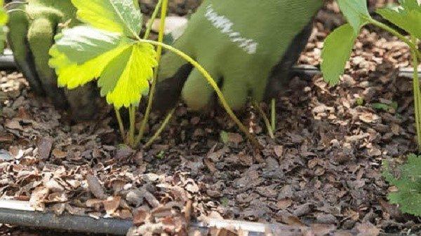 Высаживать ягоду лучше в пасмурный день, так она меньше подвергается стрессу