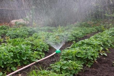 Полив лучше всего осуществлять при помощи автоматического полива, который напитывает землю влагой как раз таки на оптимальные для клубники 2-3 сантиметра