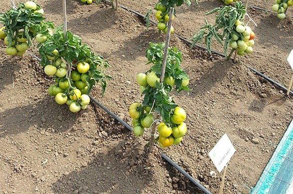 Лучше всего проводить окучивание помидоров не менее 3 раз за сезон, таким образом, вы поможете кустам сформировать дополнительные уровни корней, которые станут активнее втягивать в себя питательные вещества, и передавать их плодам