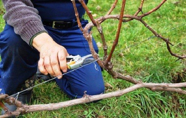 Следуя правилам обрезки, вы не только поможете растению пережить зиму, но и дадите ему силы для формирования на следующий год более обильного урожая
