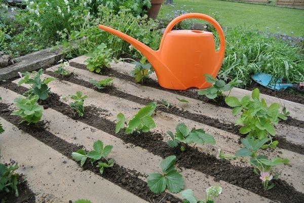 На этапе первых недель жизни ягоды в открытом грунте, растения нужно поливать каждый день