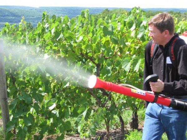 Раствор медного купороса отлично помогает бороться с различными инфекциями