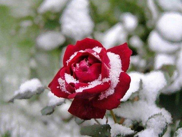 Понять, что розы готовы бороться за жизнь с безжалостными морозами, можно по нескольким вполне очевидным признакам