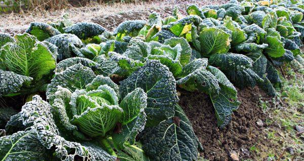 Желтые листья у основания капусты свидетельствует о накоплении питательных веществ