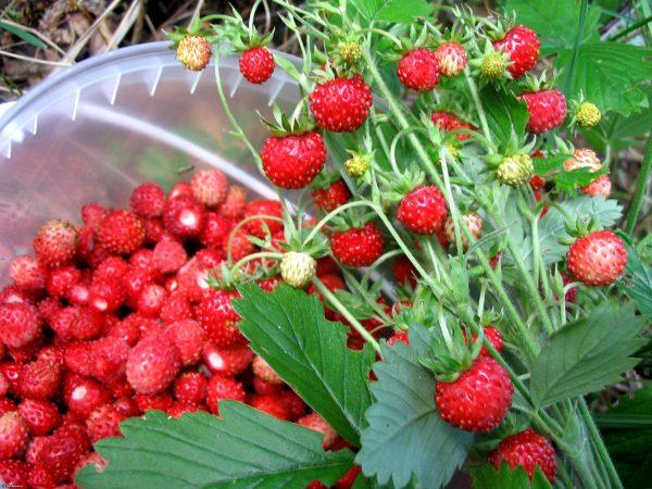 Специалисты по селекции воплотили мечту многих огородников и повысили производительность земляники