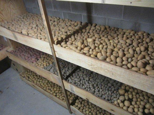 Находясь в погребе, картошка должна проветриваться со всех сторон