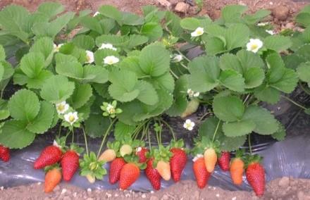 Такая разновидность ягоды может плодоносить до двух и более раз в один вегетационный период