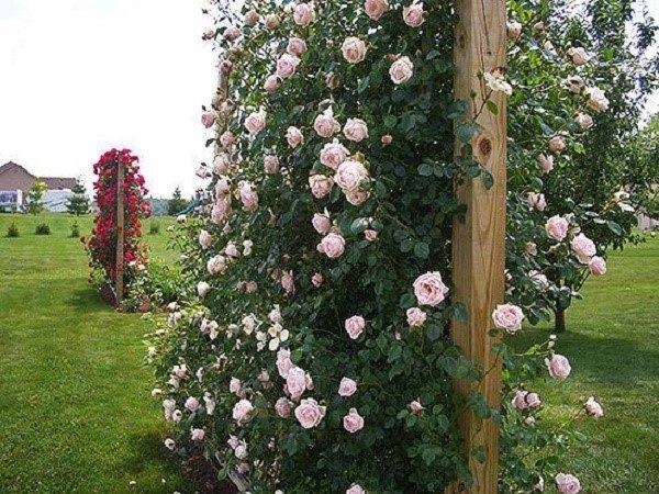 Разные розы - разная подготовка. Такие нюансы, как обрезка, например, варьируются для разных сортов