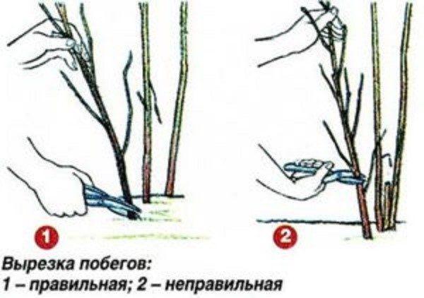 Как правильно обрезать куст ремонтантной малины