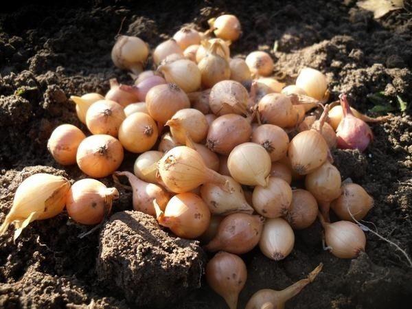 Материал для высадки будет различаться в основном по диаметру луковицы