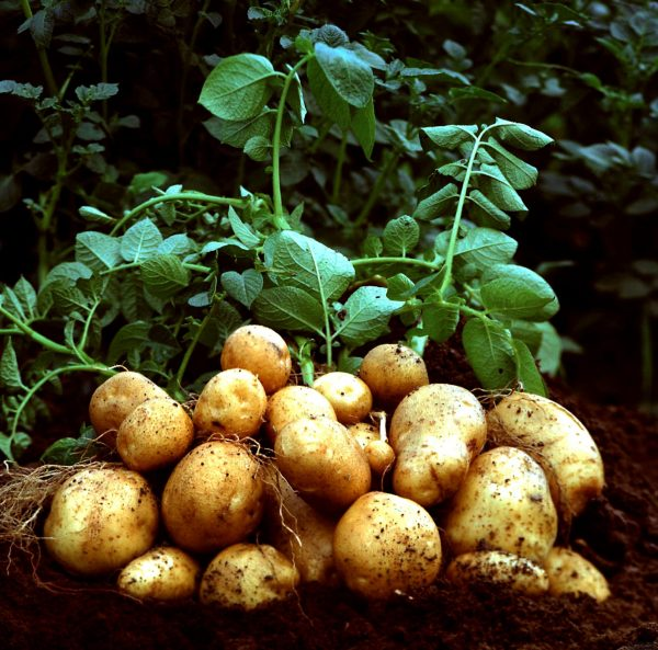 Картошку ранних сортов собирают при зеленой ботве