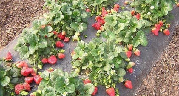Вкусовые качества этой ягоды ничем не уступают обычной клубнике, и наоборот, часто более приятны