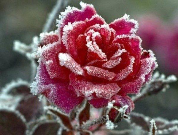Обрыв листвы очень благоприятно отражается на способности розовых кустов перезимовать наступающие холода