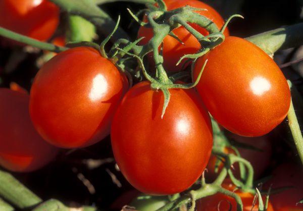 Степень зрелости помидор