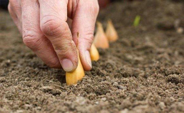 Если высадить лук запоздало, то он может не успеть развить корневую систему