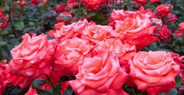 Обильное цветение - признак «сытого» цветка