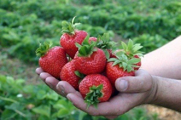 Некоторые плоды могут достигать веса в 75-100 грамм, в зависимости от сорта