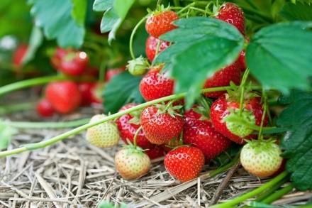 Быстрое измельчание ягод - минус рассматриваемой разновидности клубники, однако, он с лихвой компенсируется обильными первичными урожаями