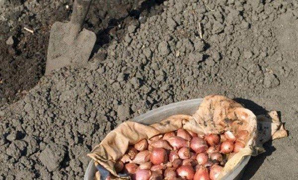Высаживая лук, хорошо удобрите почву