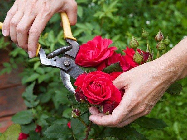 Удаляя бутоны и лишние листья перед осенним периодом, вы помогаете растению сохранить силы