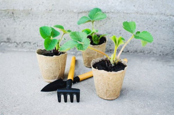 Процедура пикирования происходит у ягоды в том возрасте, когда она наращивает по три настоящих листика