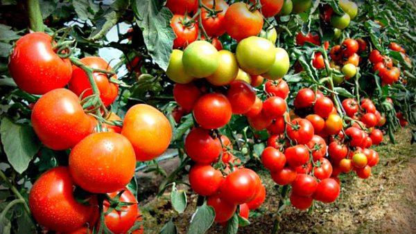 Много созревших плодов на кусте уменьшает урожайность