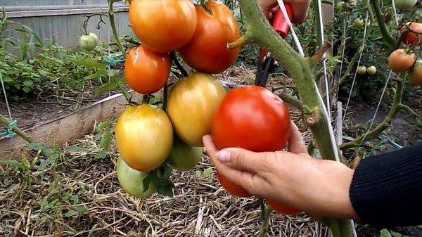 Куда вы высадите помидоры, определит климат региона вашего нахождения, однако, мы рекомендуем все же останавливаться на тепличном взращивании помидор этого сорта
