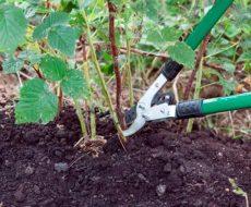 Перекапывание земли - обязательный этап после обрезания малины