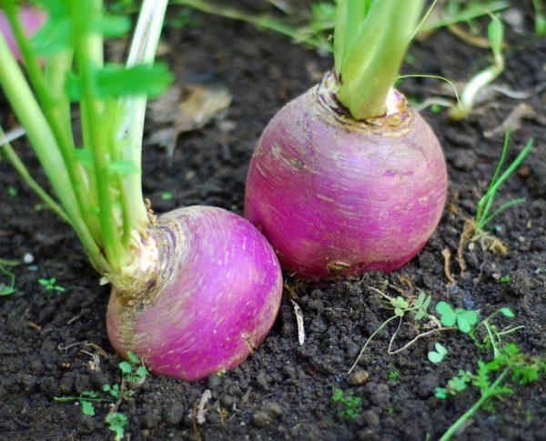 Удаление верхушки отрицательно сказывается на сроках хранения корнеплода