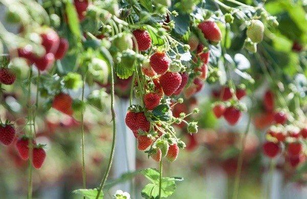 Ремонтантные сорта можно выращивать подвесным способом