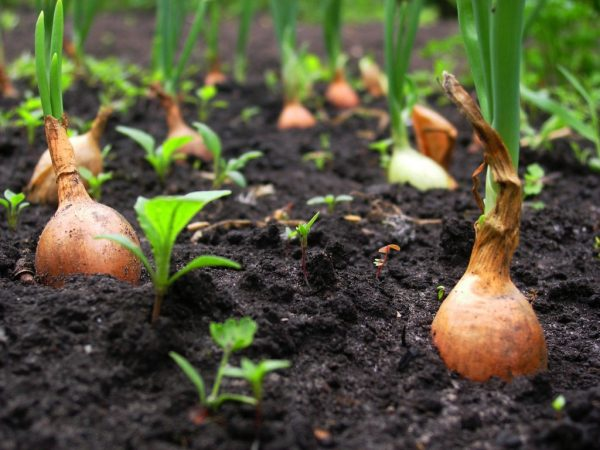 Переспевшие луковицы начинают гнить еще в грядке