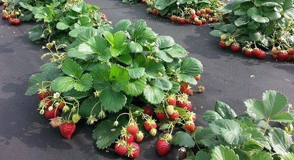 Один куст ремонтантной ягоды по объему производимого продукта равен 3-4 кустам обычной садовой клубники