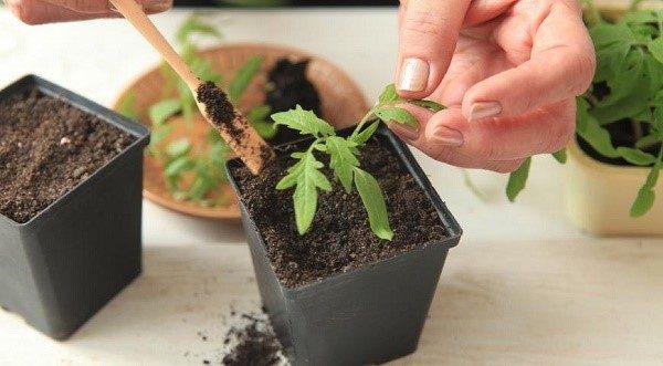 Пикирование томатов нужно проводить аккуратно, предварительно смочив почту пересаживаемого растения, чтобы не повредить корневую систему будущего куста