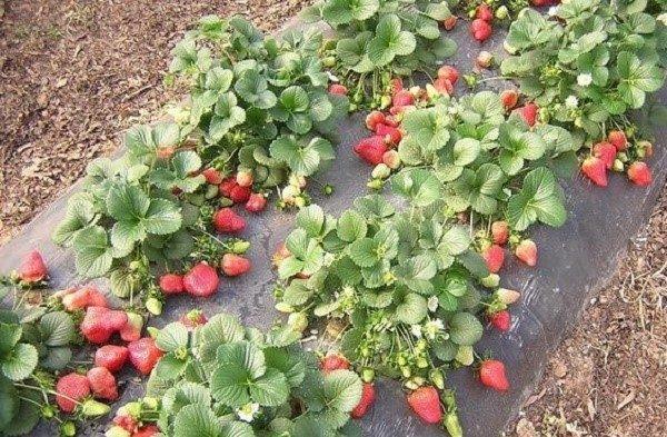 Ремонтная клубника быстро истощается ввиду высокой нагрузки, и либо умирает, либо дает мелкие и кислые плоды на второй-третий год плодоношения