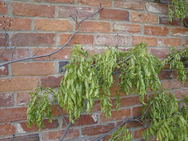 Больное растение вистерии