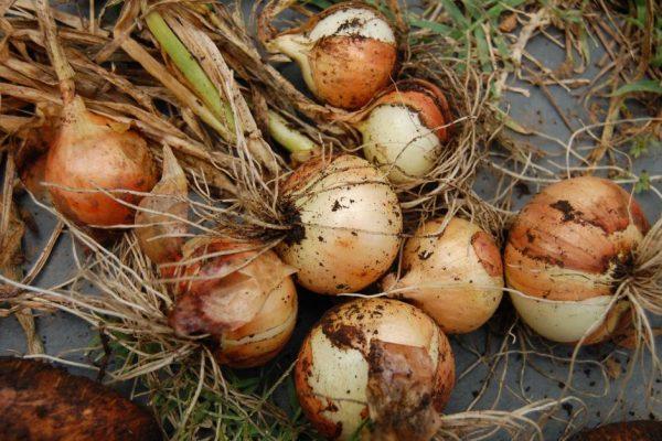 Большинство механических повреждений луковицам наносится во время неаккуратной очистки