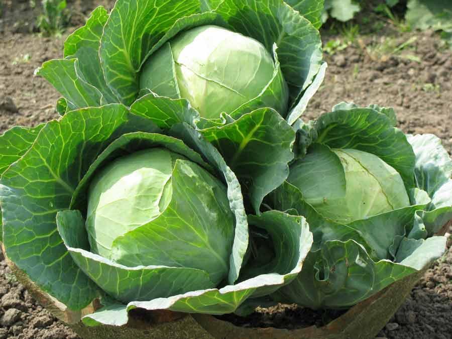 Большую роль в созревании капусты играет летняя погода