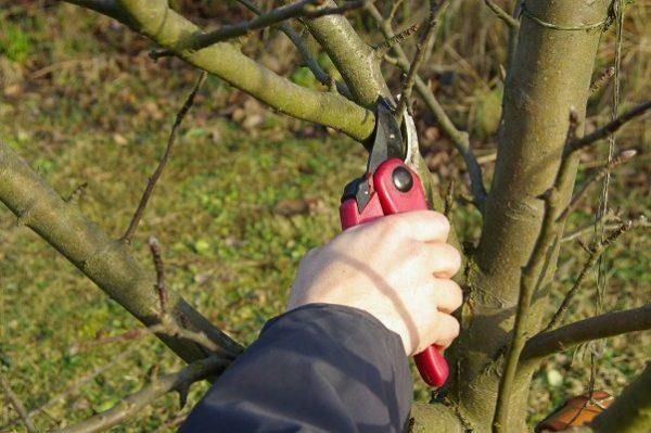 Чем больше бесполезных побегов вы удалите осенью, тем легче яблоня переживет холода