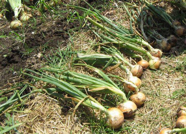 Чтобы собрать лук без вреда для самого овоща, необходимо приподнять почву рядом с ним