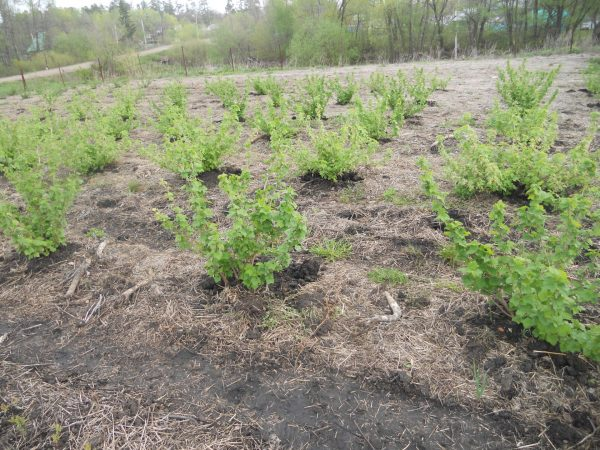 Чтобы вырастить здоровые и крепкие кусты, необходимо ухаживать за ними с первых дней после посадки