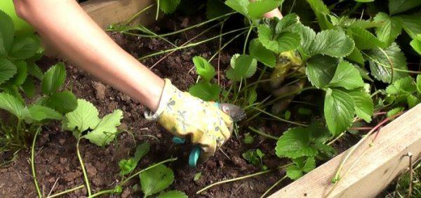Для получения хорошего клубничного урожая, усы надлежит удалять у растений дважды