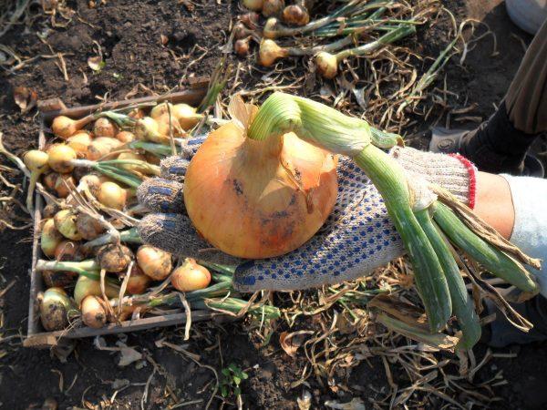 Для сбора урожая нужно заранее выбирать погожие теплые дни
