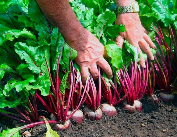 Для того, чтобы определить степень зрелости урожая, достаточно протестировать один корнеплод