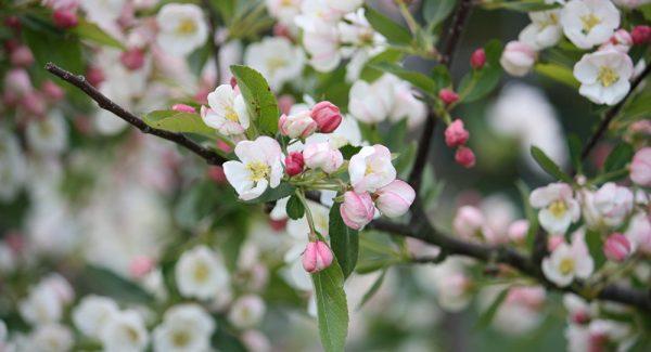 Для того, чтобы увеличить плодоноскость яблони следует удобрять ее смесями с калием и фосфором
