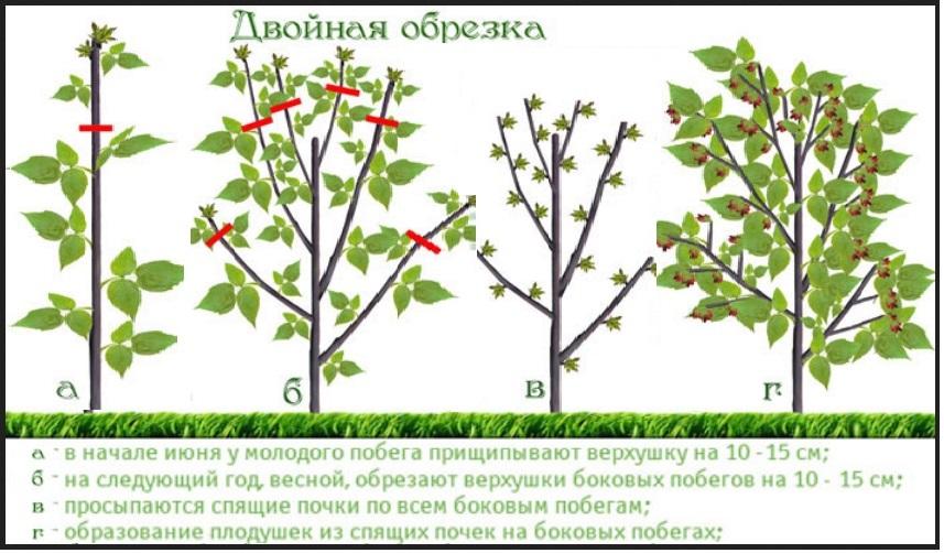 Двойной обрезки требуют специальные сорта, дающие плоды дважды за сезон