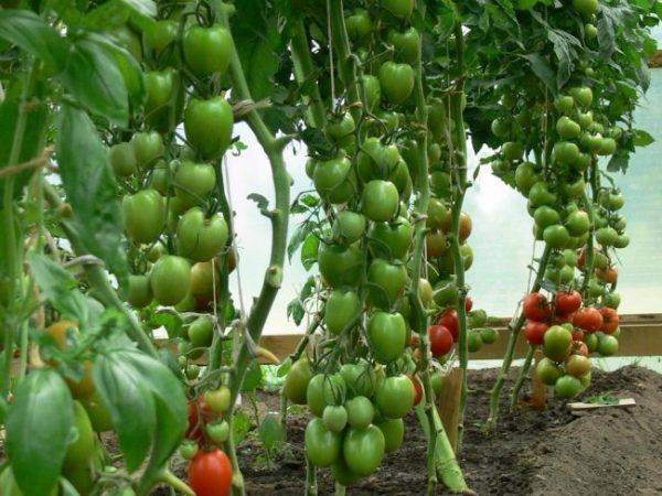 Если помидоры долго не созревают, садовод может усилить приток питательных веществ к ягодам